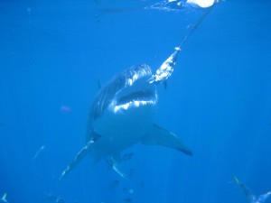 Great white sharks at Isla Guadalupe
