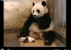 Anthropomorphism: The Panda Sneeze